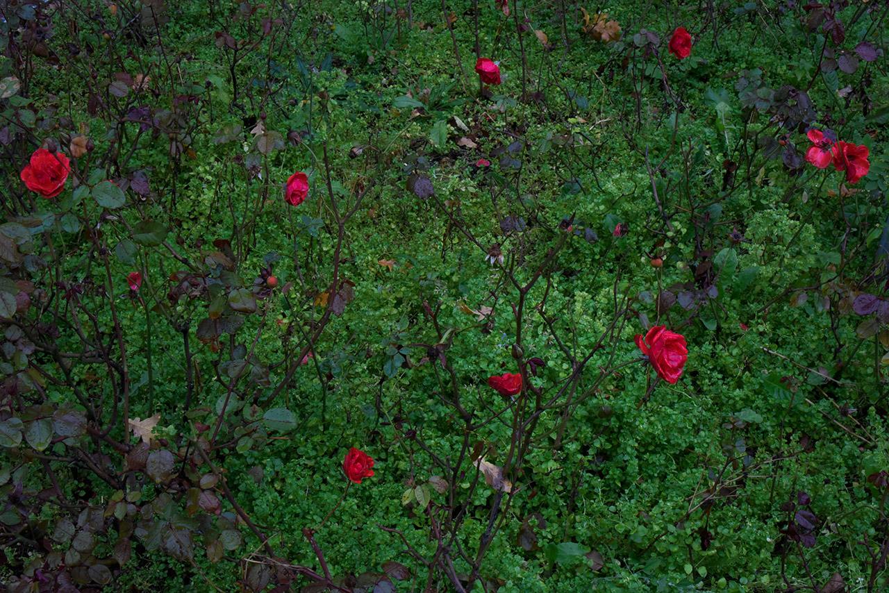 Rosen 01 | © Mio Schweiger Fotografie