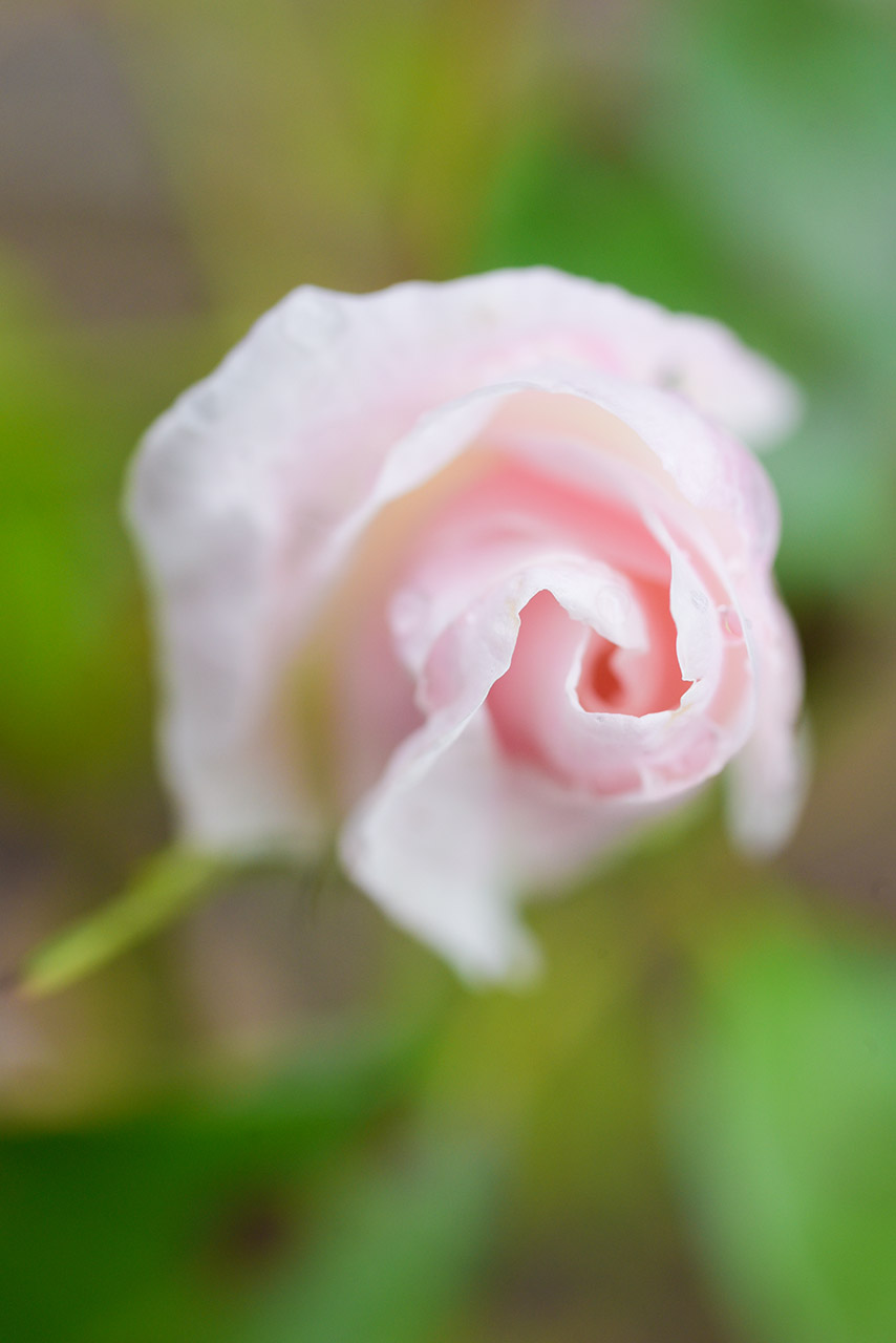 Rose 02 | © Mio Schweiger Fotografie