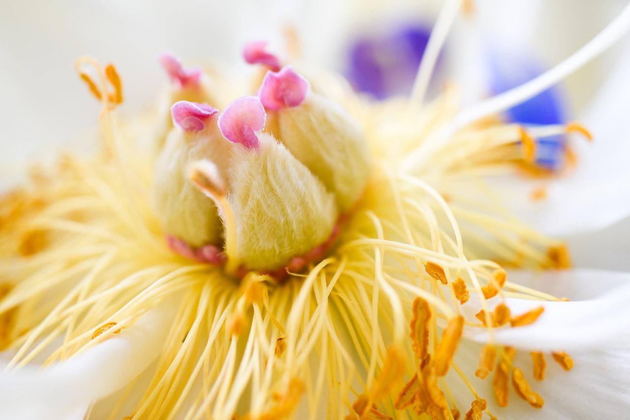 Blüte 03 | © Mio Schweiger Fotografie